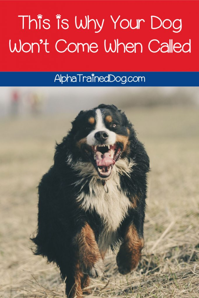 Want to know why your dog won't come when called?  Read on for the top 3 reasons and find out how to improve recall!