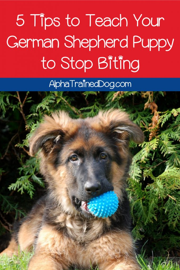 How do you get a German Shepherd to stop biting while teething? Read on to find out why the GSD bites so much and how to get him to stop!