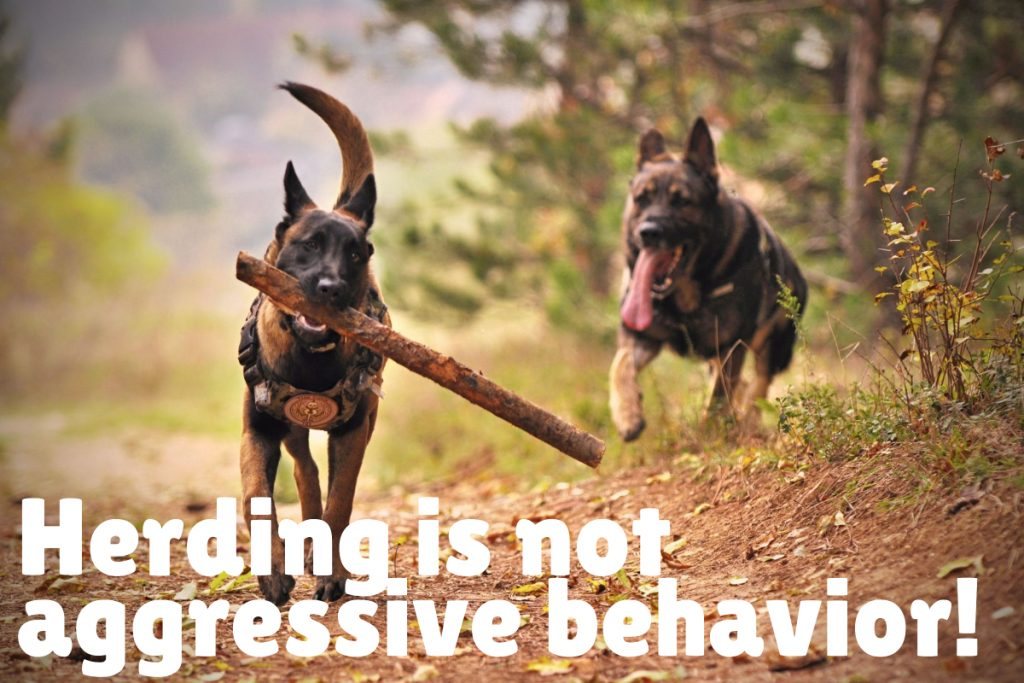Herding is NOT alpha behavior nor is it a sign of aggression