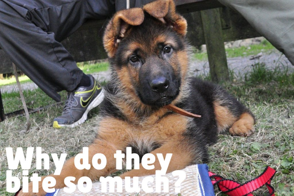 Before we get to the how, we need to look at the why! So, let's talk about why your German Shepherd puppy bites so much!