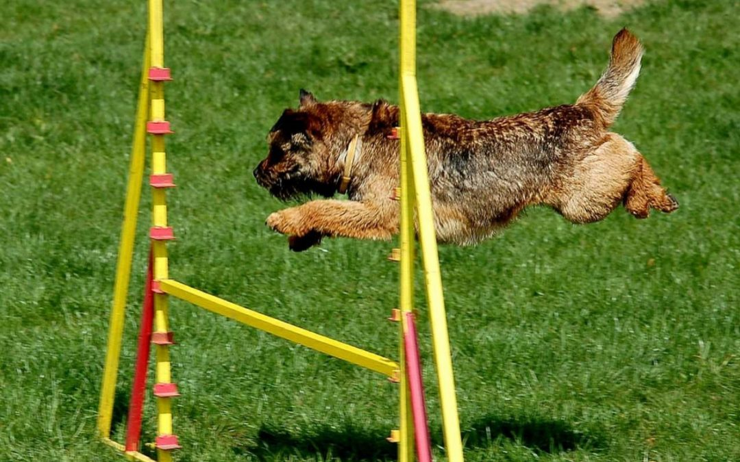 How To Teach Your Dog To Jump Over Hurdles (With Videos)