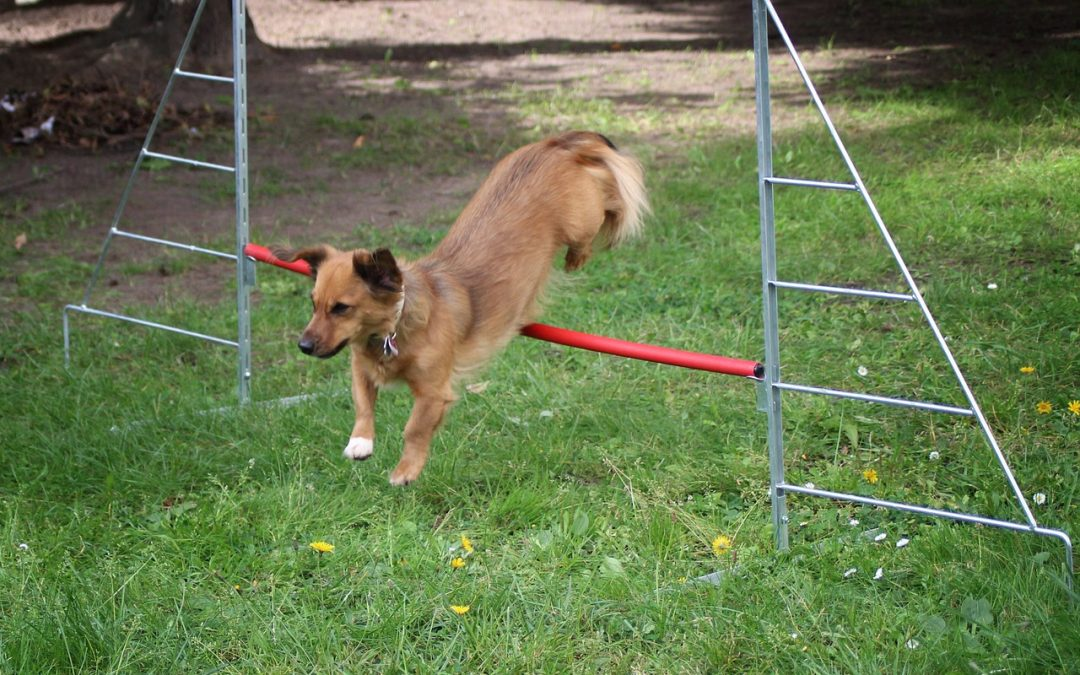 Dog Hurdle Reviews: 10 Great Picks for  Agility Training