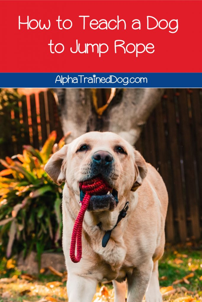 Want to know how to teach a dog to jump rope? While he may never master Double Dutch, you can train him the basics of the classic schoolyard game. See how!