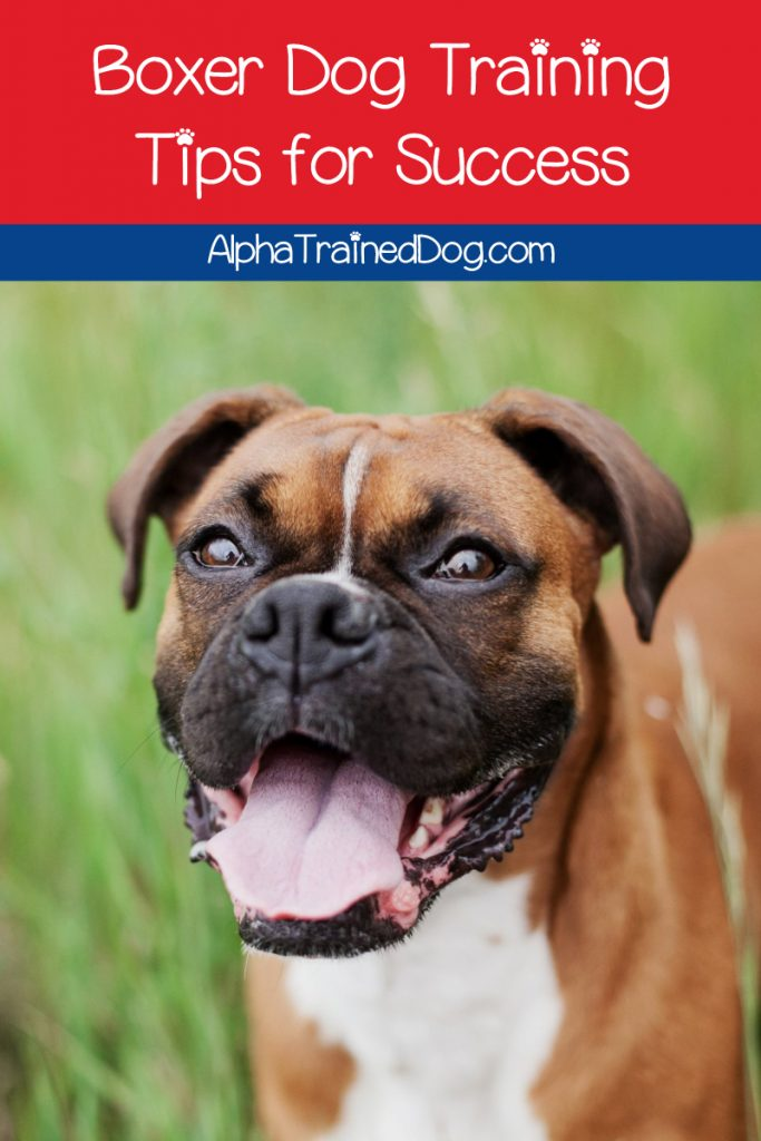 If you're looking for the best tips on boxer dog training, we've got you covered! Read on to learn how to teach your pup the most important basic commands.