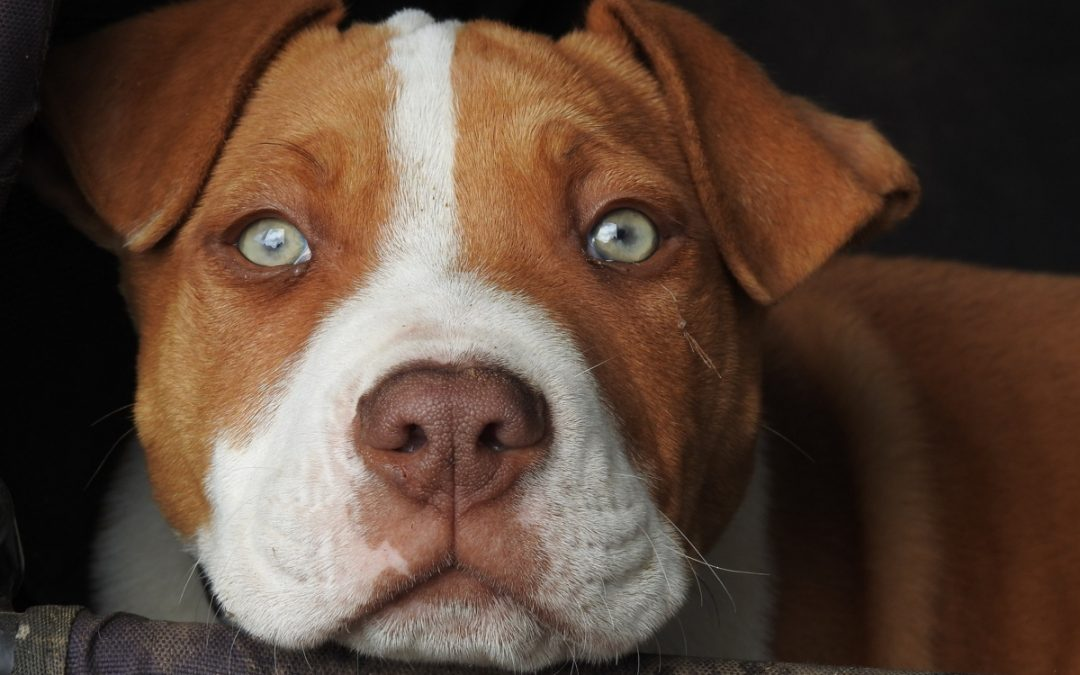 Best Dog Treadmills for Pitbulls & Other Medium Dogs