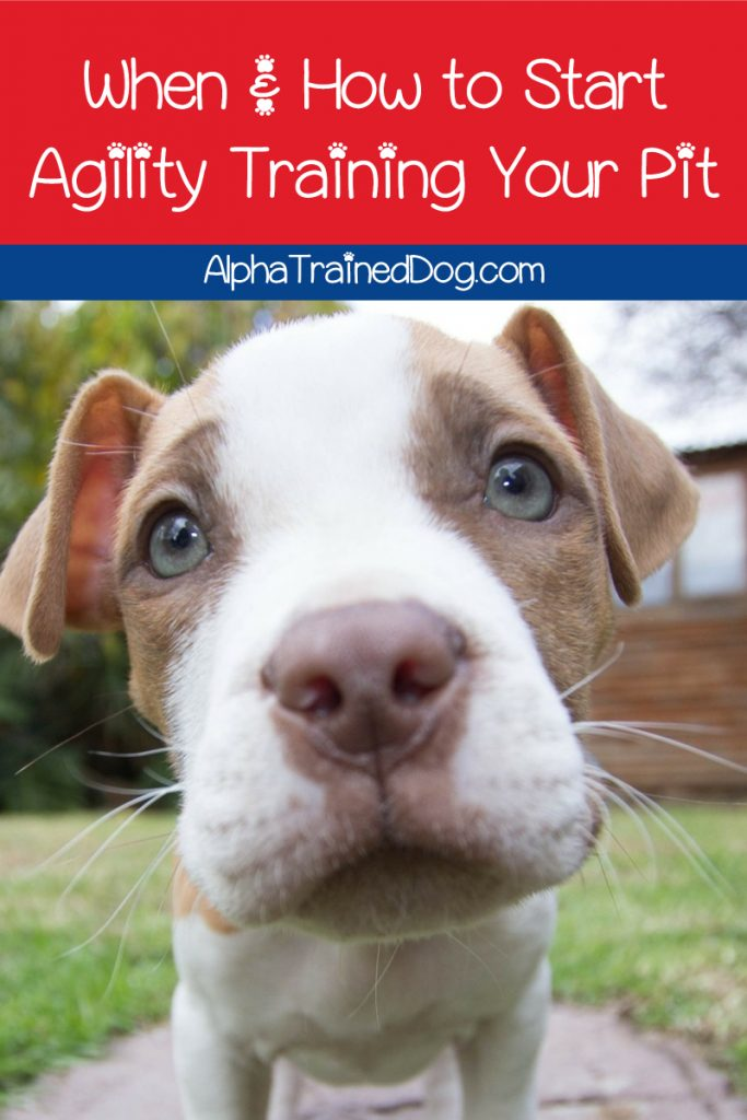 Let's talk agility dog training and pit bull terriers! We've got tips & tricks to help make it fun & easy for both you and your dog. Check them out!