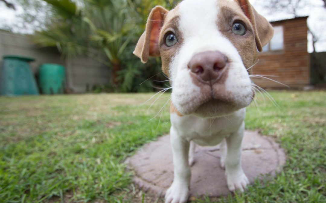 Agility Dog Training And Pit Bull Terriers: Tips for Success