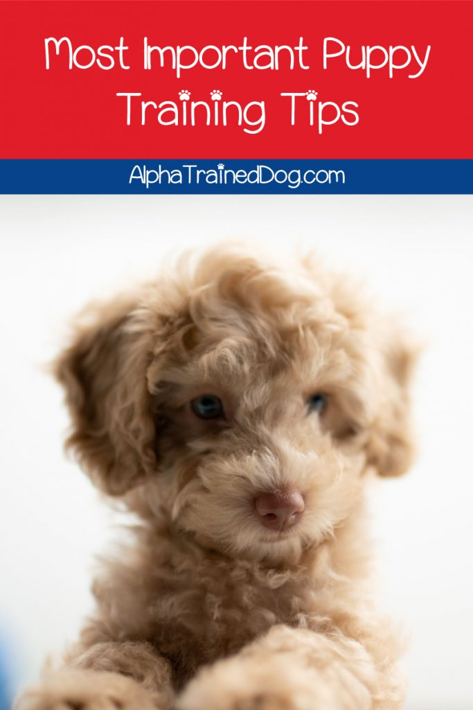 7 Must Know Puppy Training Tips Tricks Alpha Trained Dog