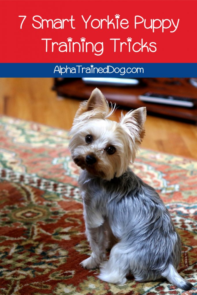 Have you got problems with your Yorkie puppy training? Read on for 7 brilliant tips and tricks that will make the job so much easier!
