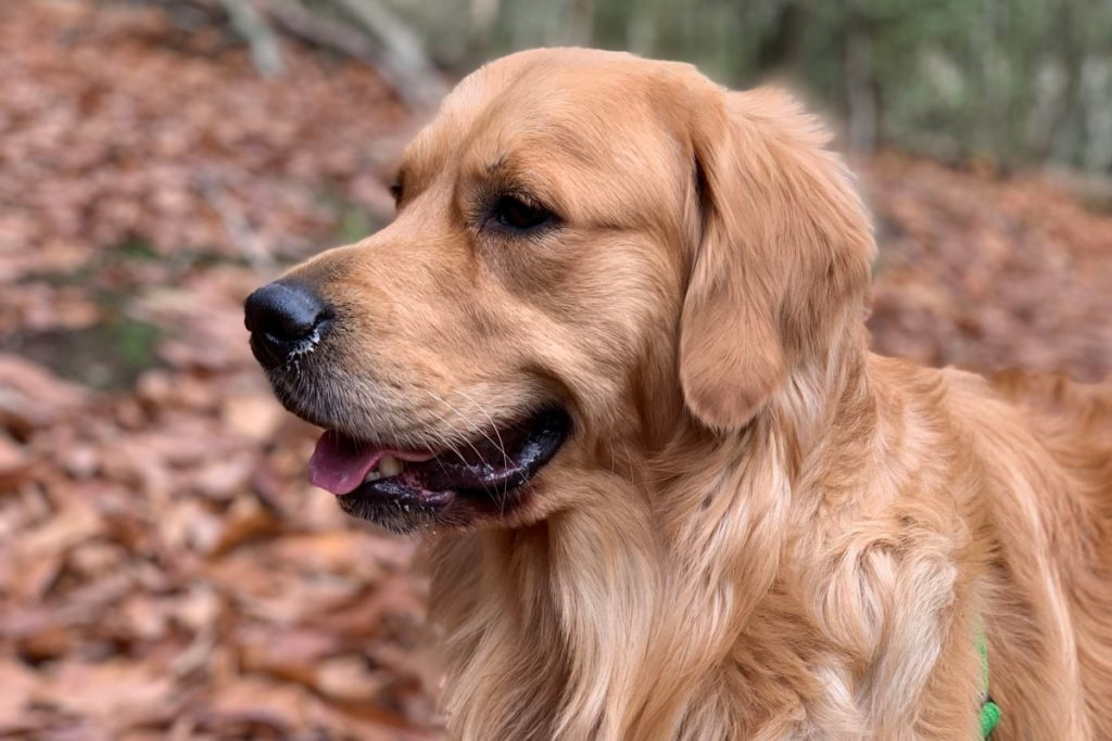 Need a few good tips for training your Golden Retriever to sit? Let us help you out! Check out everything you need to know for a well-behaved Golden.
