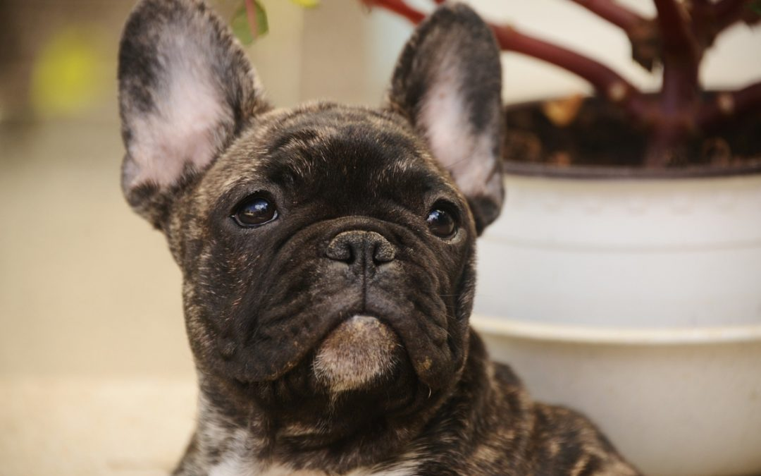Top 7 Best Crates for French Bulldogs