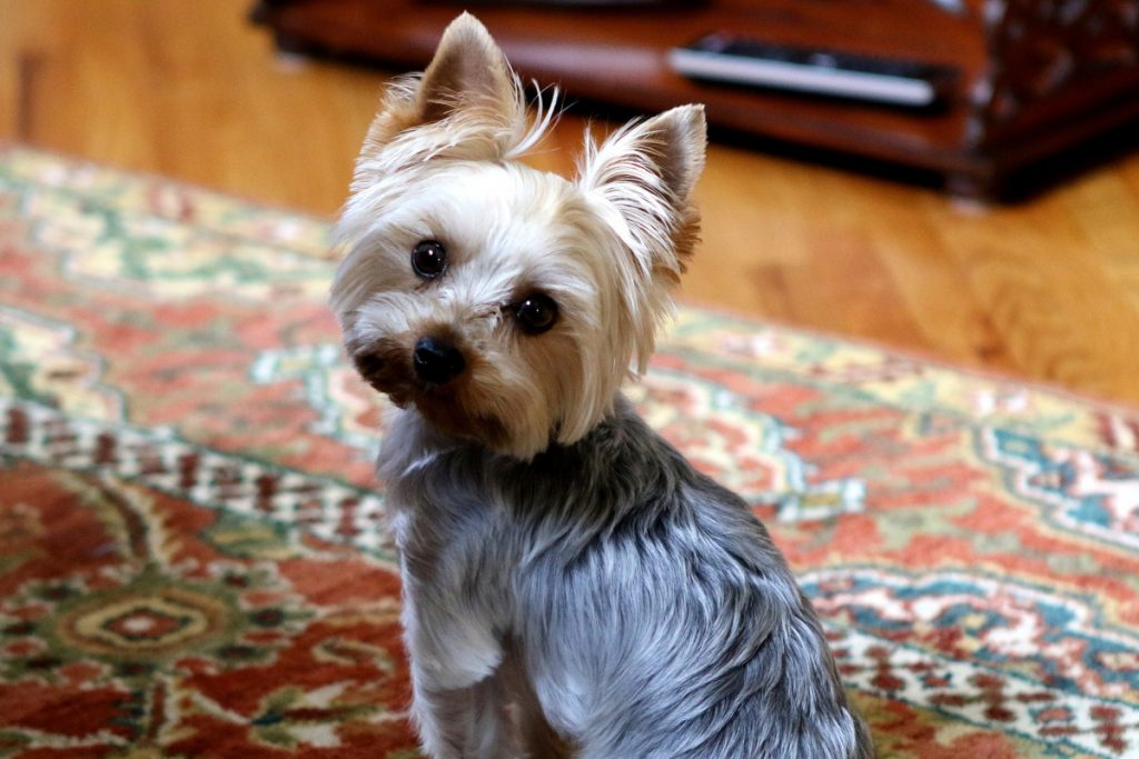 7 Smart Yorkie Puppy Training Tricks Alpha Trained Dog