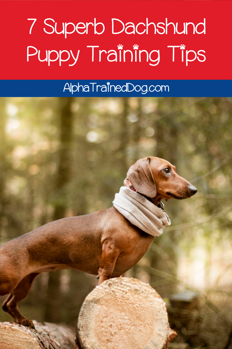 7 Superb Dachshund Puppy Training Tips Alpha Trained Dog