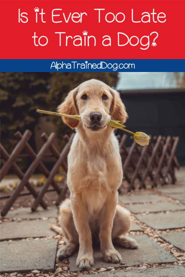 Is it ever too late to start training a dog?  Short answer: no. Read on to find out the longer answer as well as tips on what to teach your adult dog first.