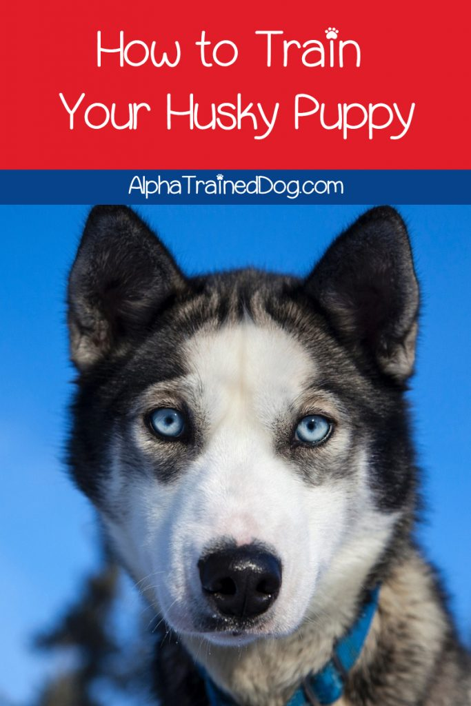While Huskies are among the most stunning dogs, they're not the easiest to train. We'll help, though! Check out 8 tips for training a husky puppy!