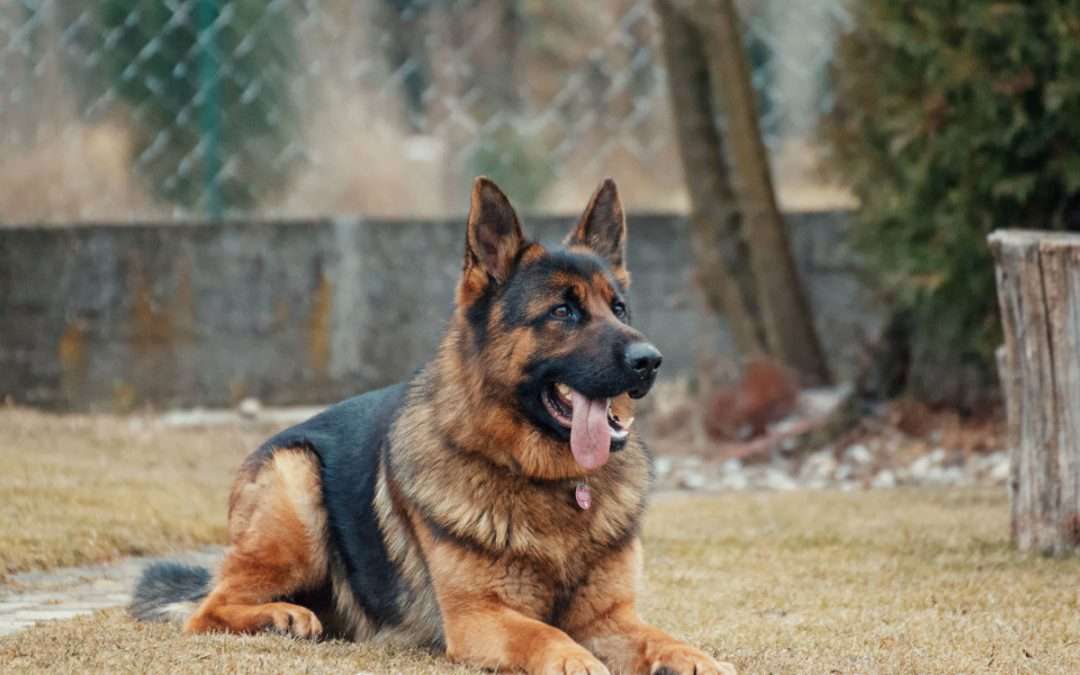 Training Your German Shepherd Dog- Do's and Don'ts