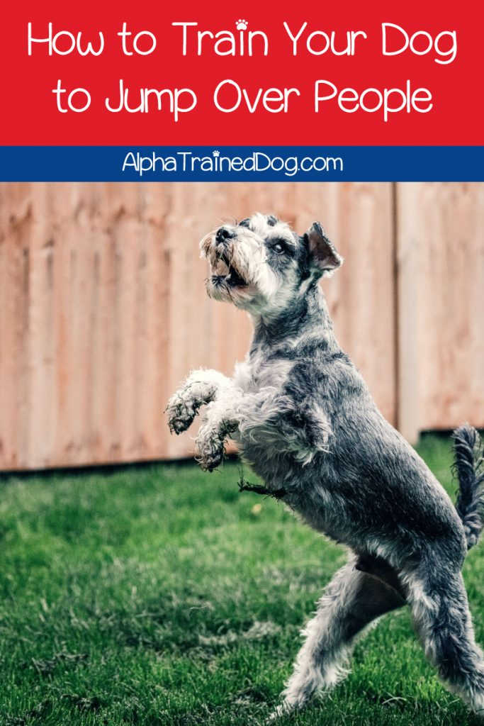 Want to learn how to train your dog to jump over people? Use our 5-step guide and your pup will be impressing people with his leaping skills in no time!