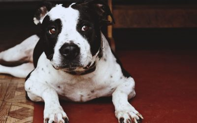 Top 5 Best Crates for Pit Bulls