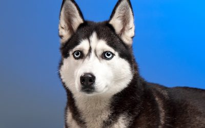 Top 5 Best Crates for Huskies