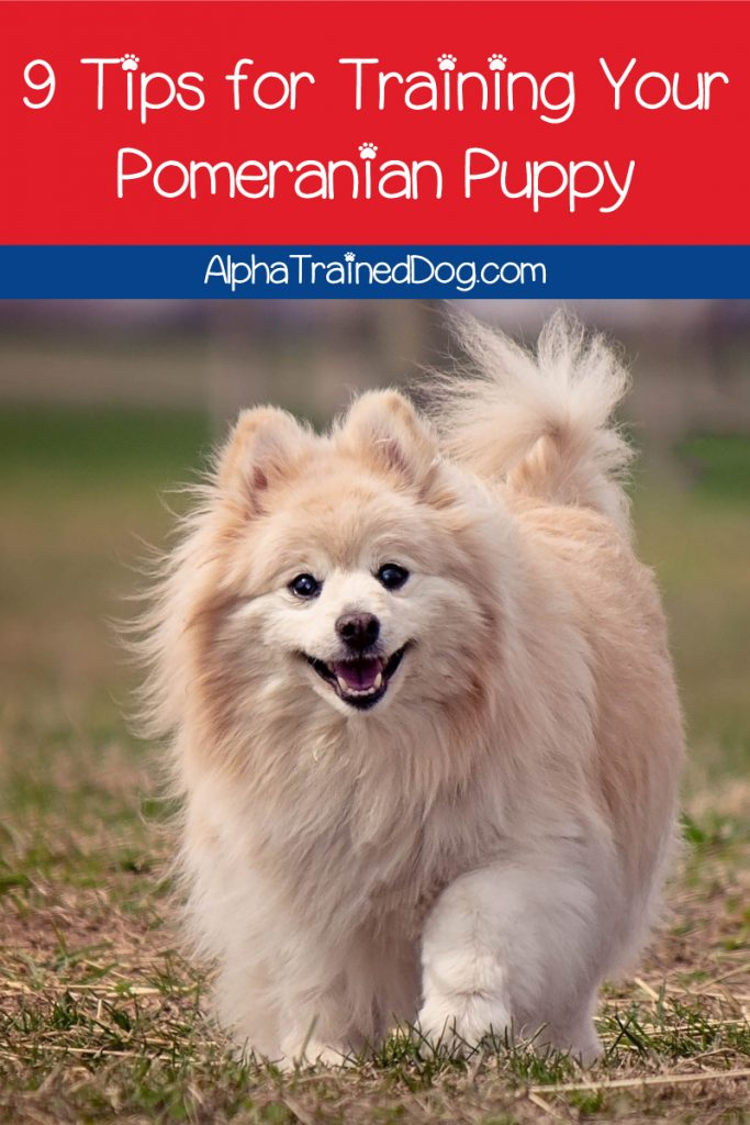 Pomeranian puppy training can be challenging for novice owners. We're making it easier with these 9 vital tips. Check them out!