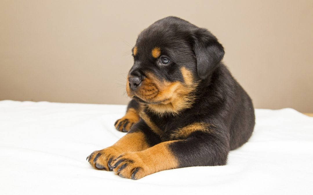9 Mind-Blowing Tips on Rottweiler Puppy Training