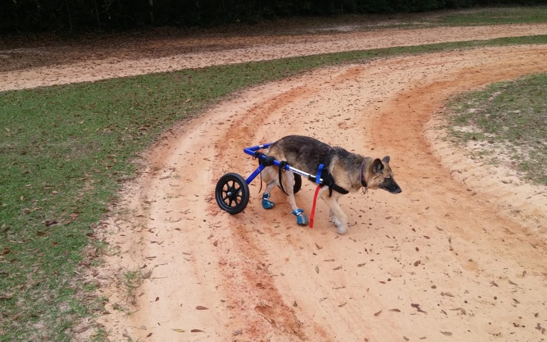 5 Best Wheels for Dogs with Bad Legs