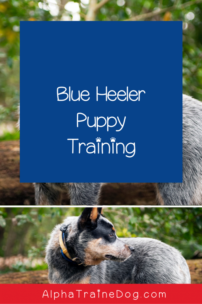 Blue Heeler puppies are cute and adorable, but Blue Heeler puppy training might be challenging for inexperienced owners. Check out our tips to make it easier!