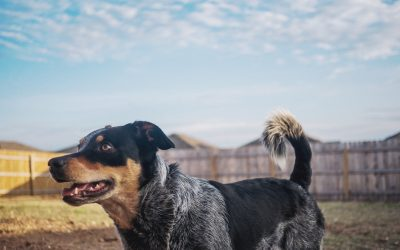 7 Fantastic Tips on Blue Heeler Puppy Training