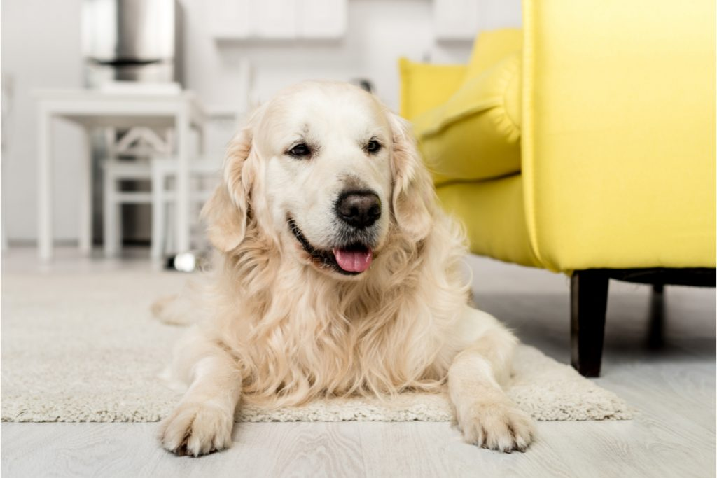 Need some tips for crate training your golden retriever? Check out these 5 powerful yet simple strategies to make it easier!