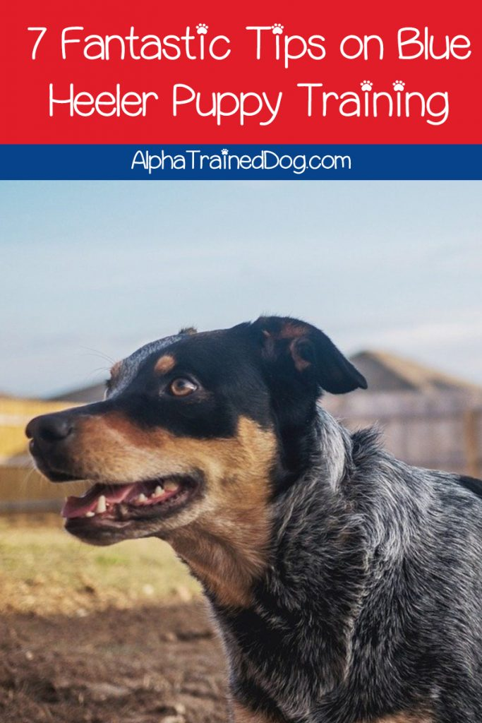 Blue Heeler puppy training might be challenging for inexperienced owners. Check out our tips to make it easier!