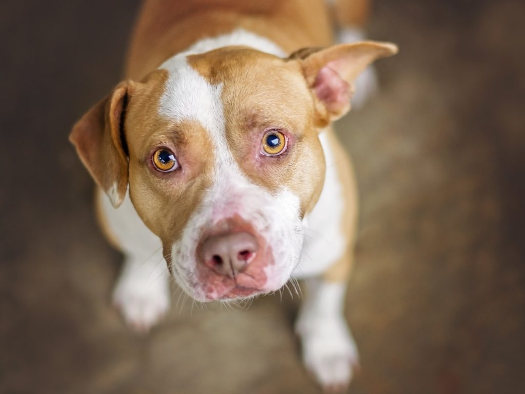 Knowing how to train a pitbull puppy not to bite is absolutely vital. Read on for 6 strategies that will help make the task easier!