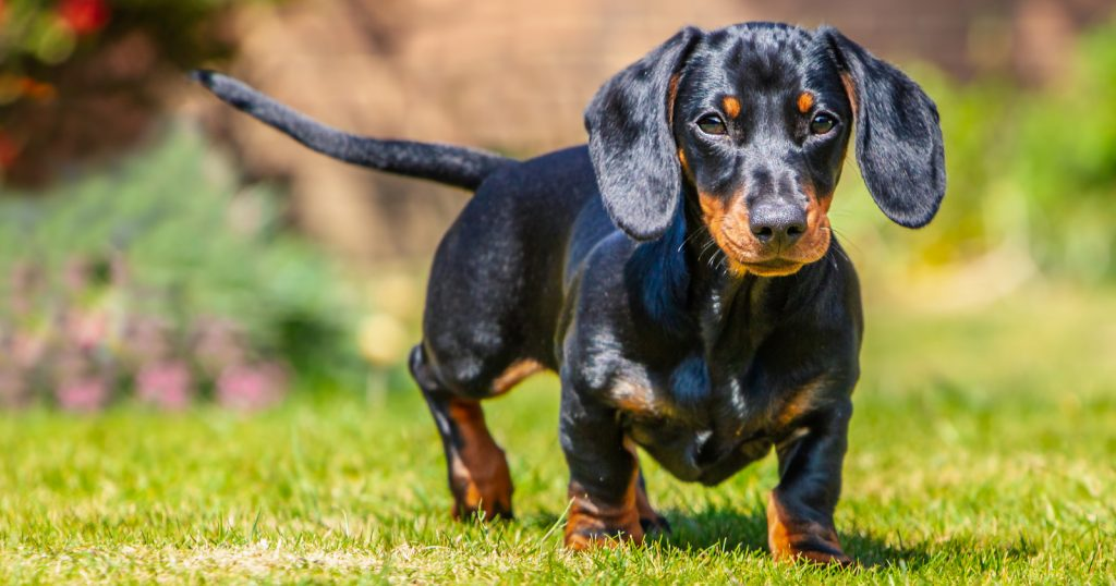 Do you want to know how to train your Dachshund puppy not to bark? Don't worry, it's not as hard as you think! Check out 8 tips to make the job easy!