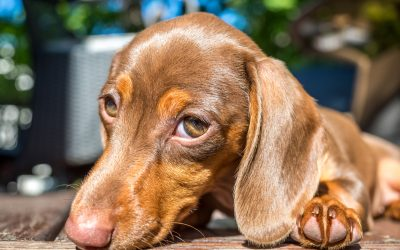 8 Brilliant Tips on How to Train a Dachshund Puppy Not to Bark