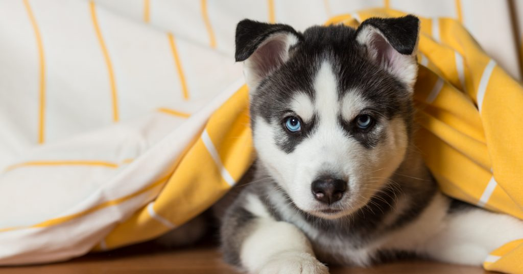 Help, I need to know how to train a Husky puppy not to bite, fast! Sound like you? Then these 9 brilliant training tips will help!