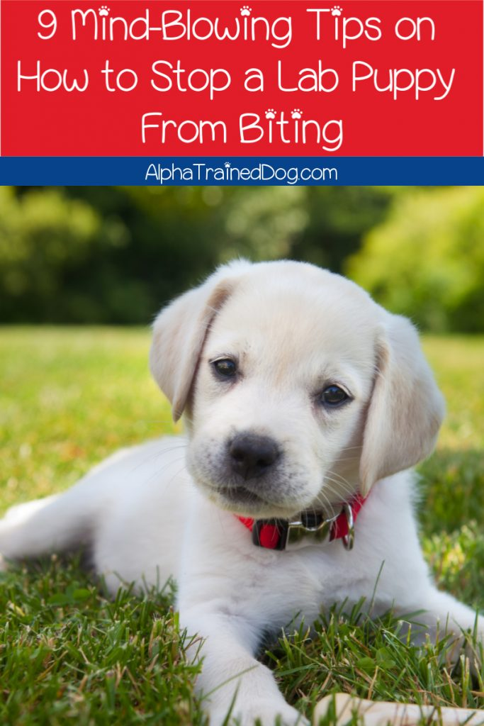 Are you scratching your head how to stop a lab puppy from biting? We've got 9 fantastic Lab puppy training tips that will help you out! Take a look!