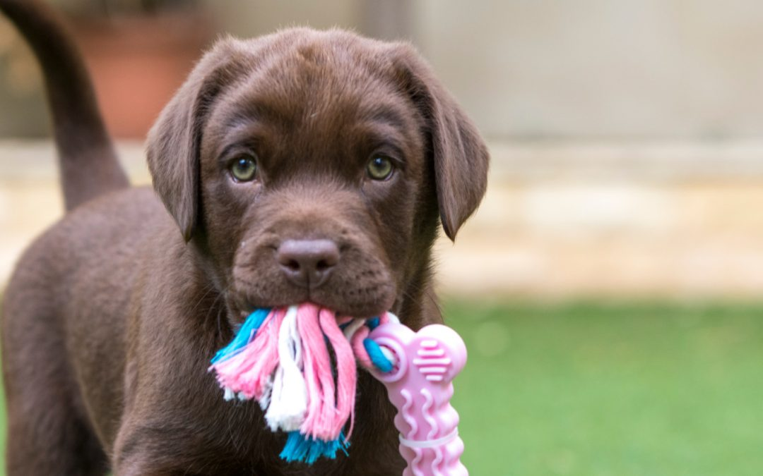 9 Mind-Blowing Tips on How to Stop a Lab Puppy From Biting