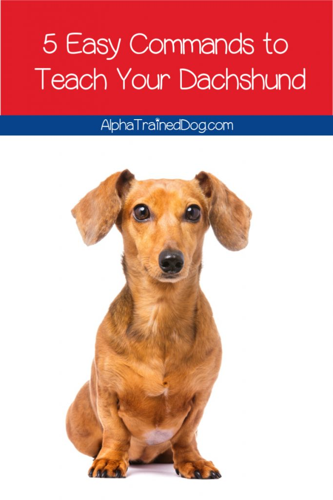 Wondering how to train a dachshund to sit, come, stay, and more? Then read on for some great easy commands to teach your dachshund!