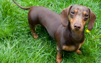 5 Best Dog Crates for Dachshunds (With Reviews)