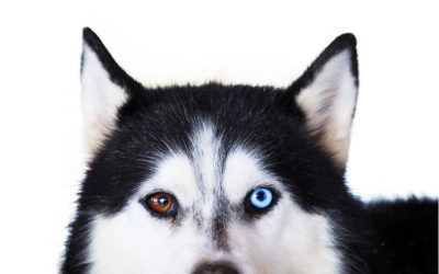 7 Superb Tips on How to Show Dominance Over Your Husky