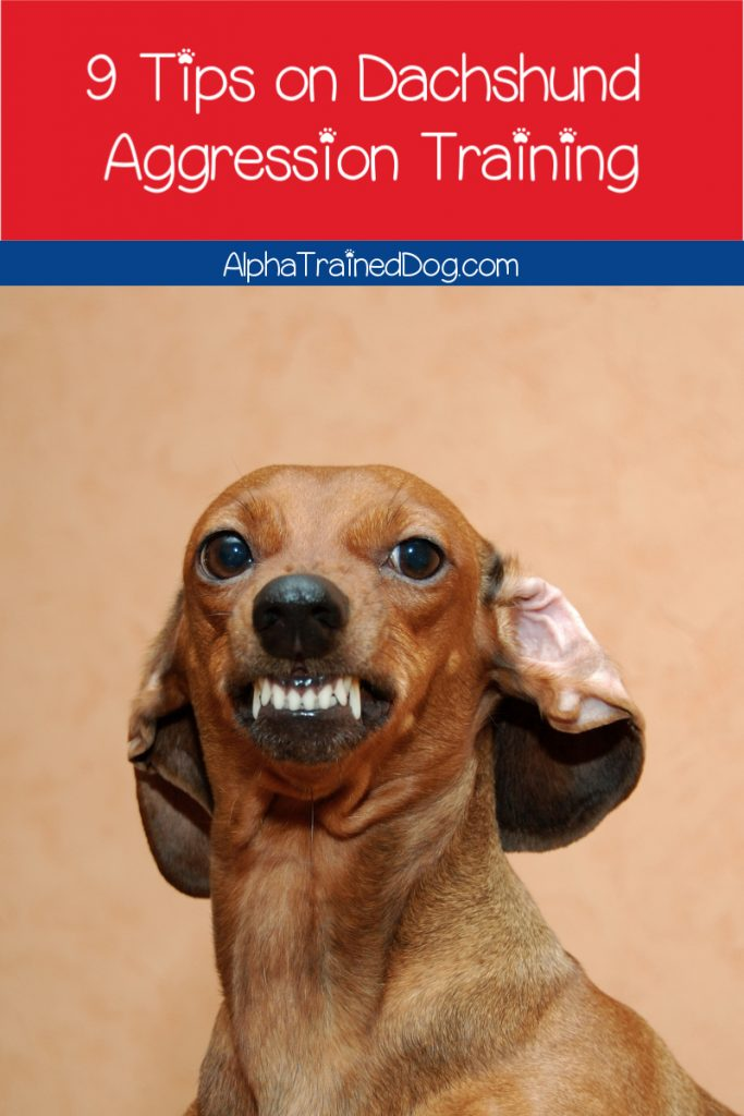 Are you looking for some Dachshund aggression training tips and strategies? Check out these 9 brilliant ideas!