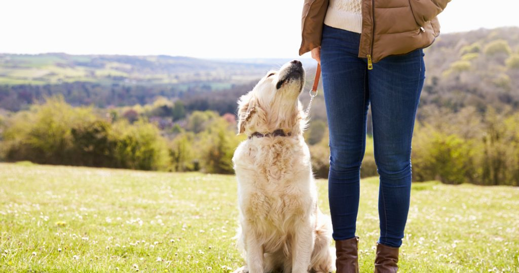 Are you having problems teaching your Golden Retriever to sit? Then, you'll want to check out these 8 simple training tips to make the job easier!