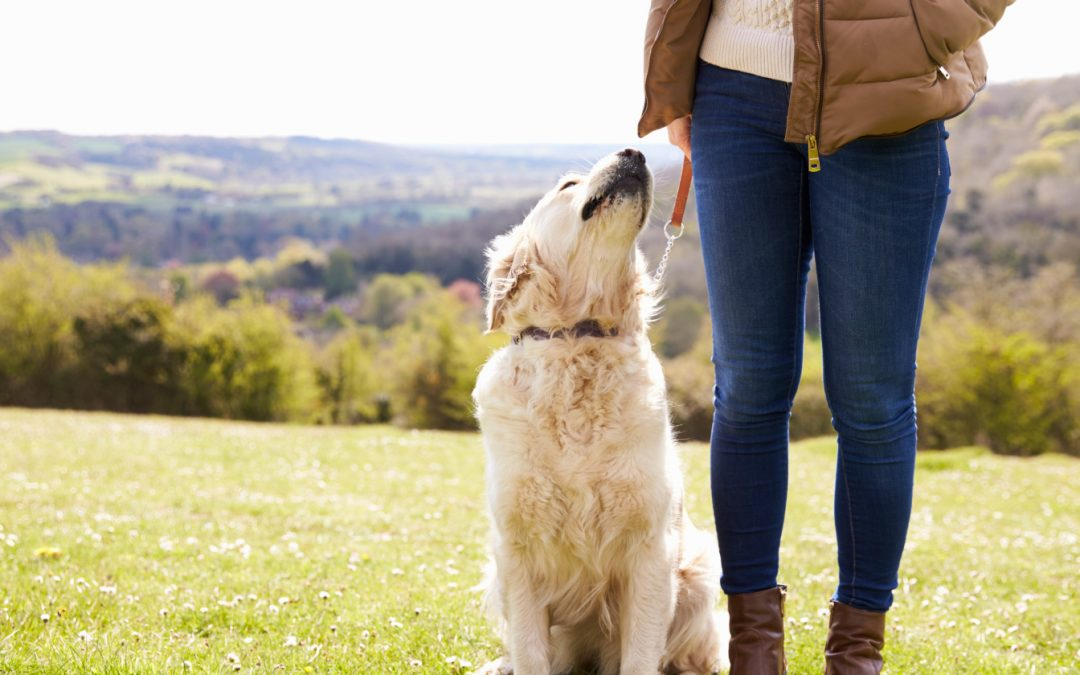 How to Teach a Golden Retriever to Sit in 8 Steps