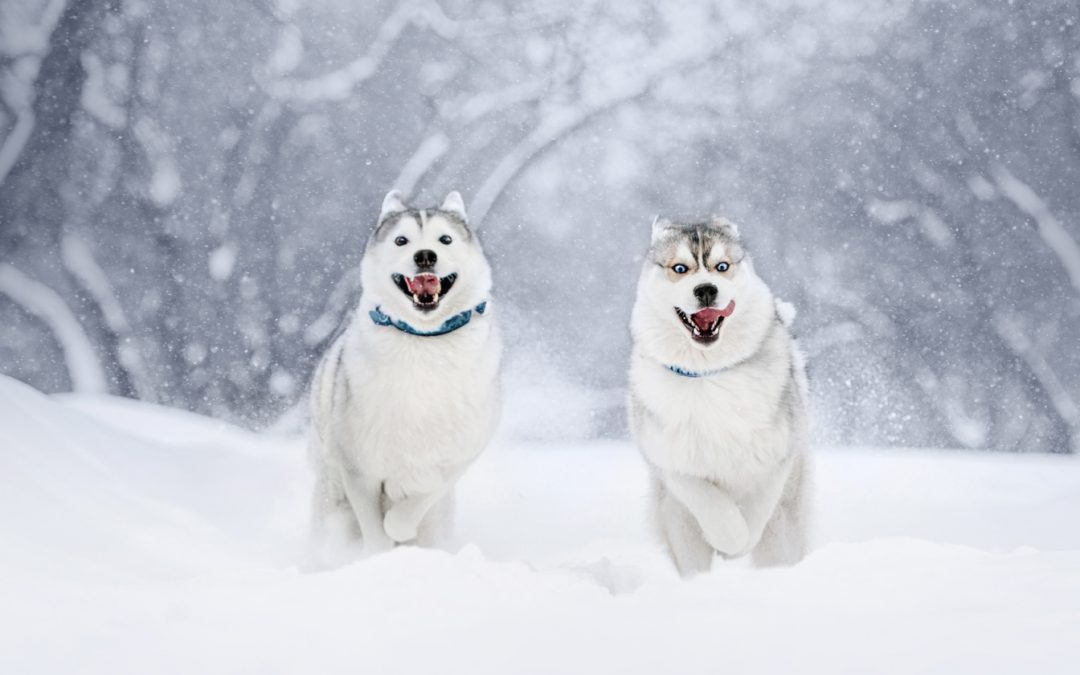 How to Choose the Best Training Collar for a Siberian Husky
