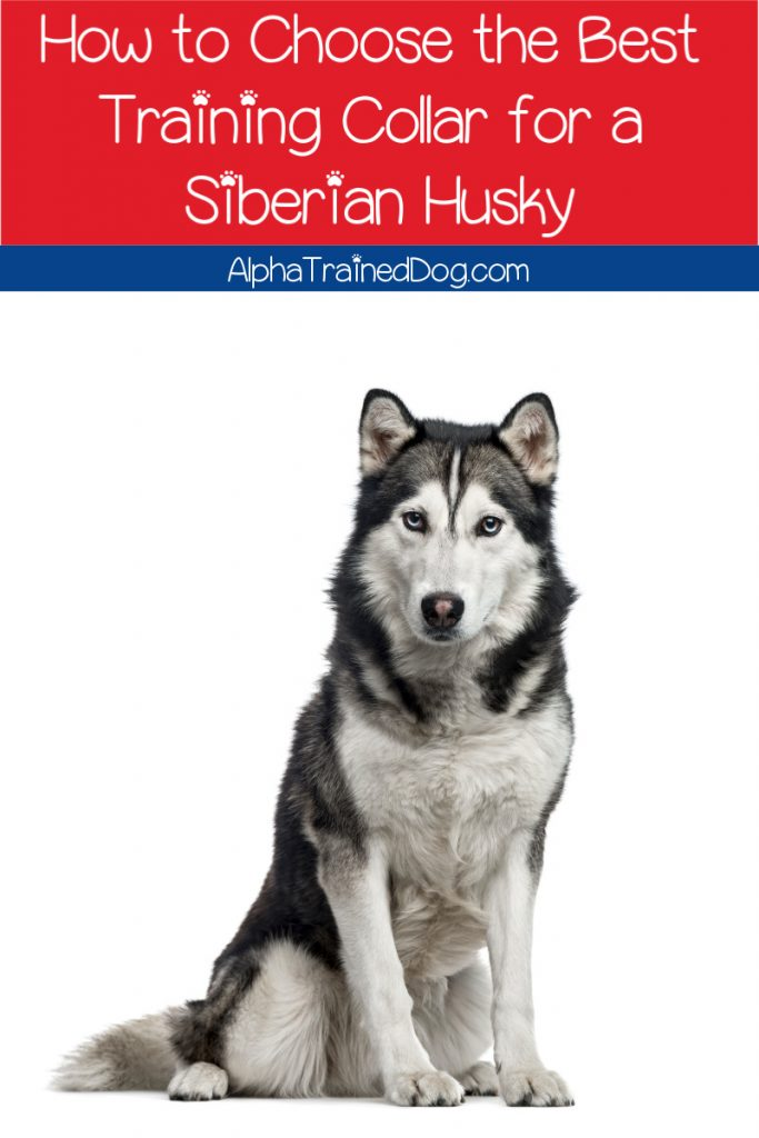 Knowing how to choose the best training collar for a Siberian Husky is vital. The wrong one can cause irreparable damage, after all. Here are the best options!