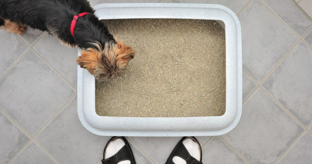 Can you train a Yorkie to use a litter box? Are there any pros and cons of dog litter training to consider? Read on for those answers & more!