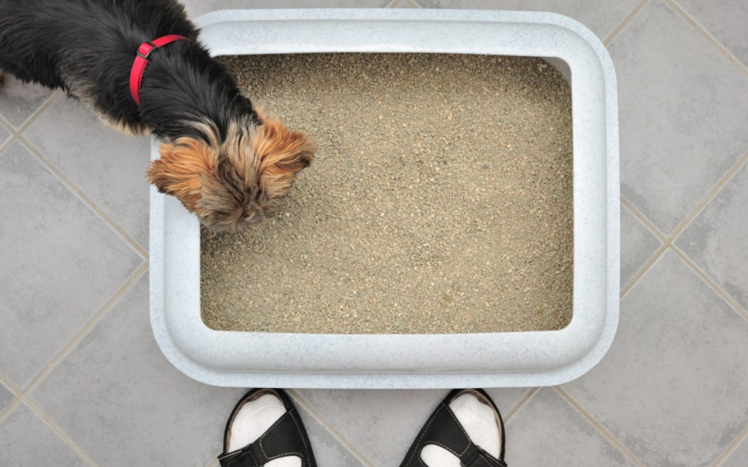 Can You Train a Yorkie to Use a Litter Box?