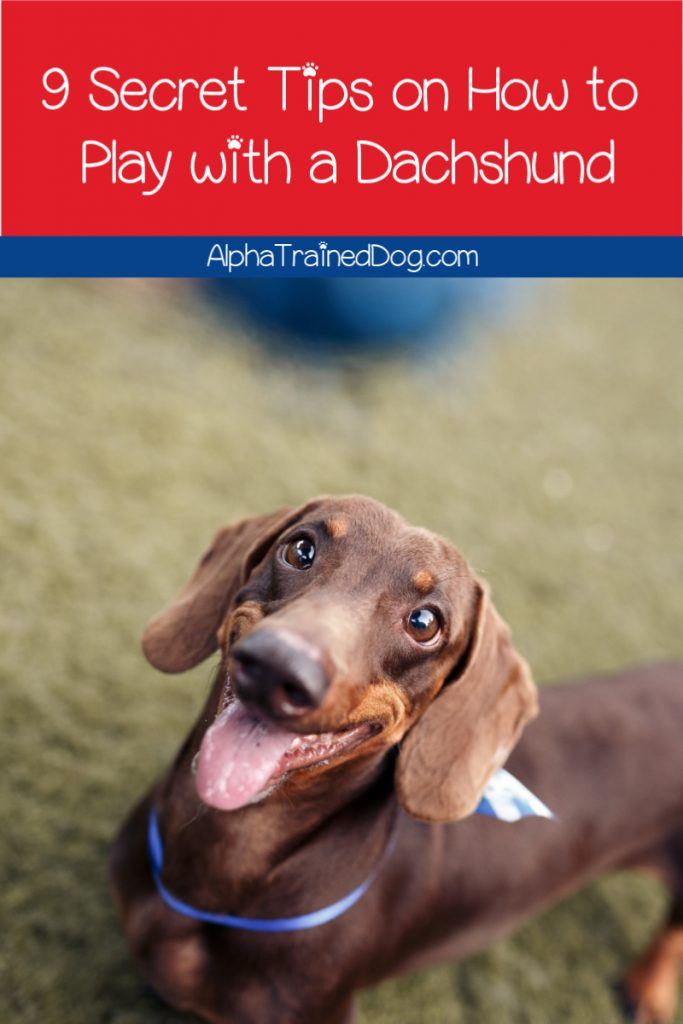 Wondering how to play with a Dachshund? You're going to love these 9 secret tips on getting the most out of playtime with Doxies! Check them out!