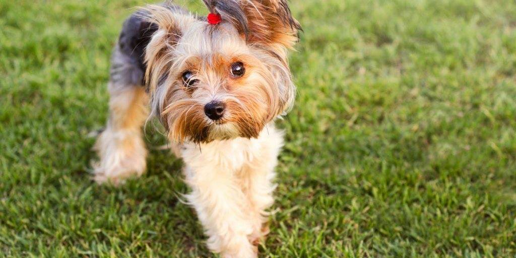 Need to know how to get a Yorkie to stop biting fast? Check out these 5 easy tips plus one thing you should never, ever do.