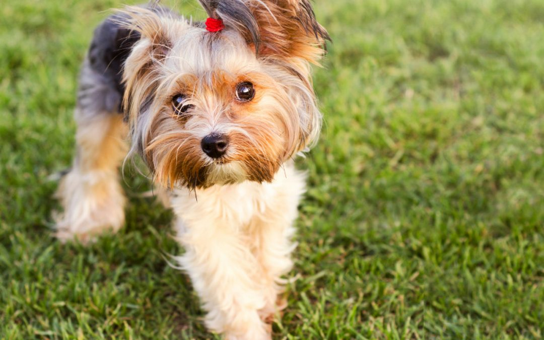 5 Easy Tips on How to Get a Yorkie to Stop Biting