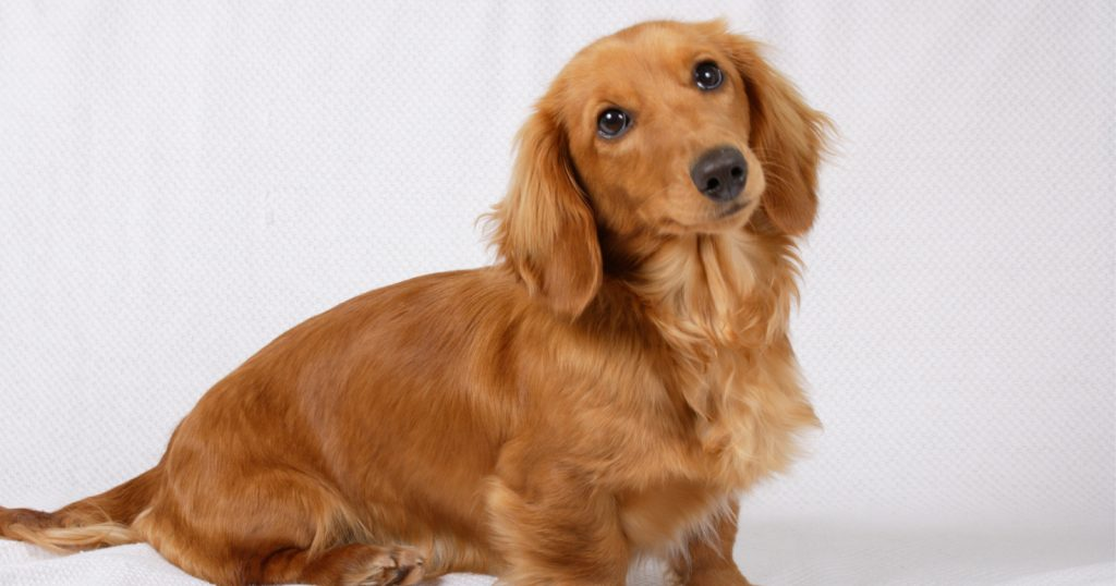 The dachshund is one of the hardest dog breeds to train.